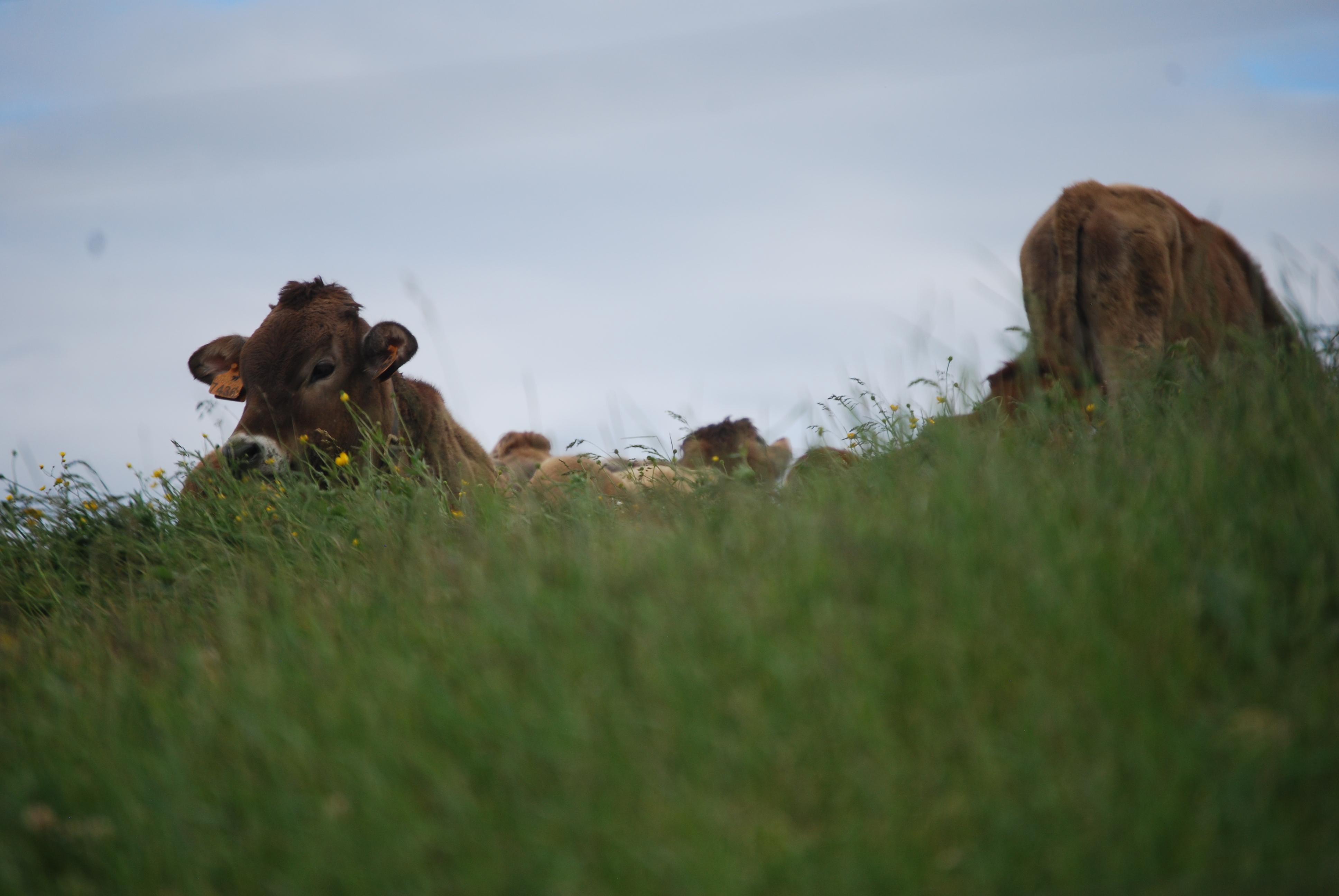Veneto cows