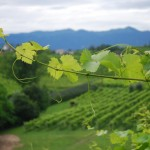 Veneto vineyard