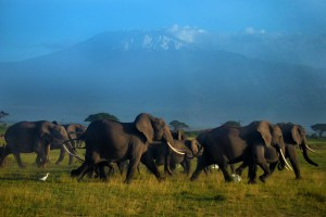 Elephants cross Amboseli National Park. David Frey photo.